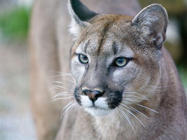 Ag Ed lesson: Wildlife Management and the Florida Panther Spotting