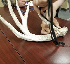 A student uses a flexible measuring tape to determine the length of a deer antler tine while scoring the overall size of a whitetailed deer rack.