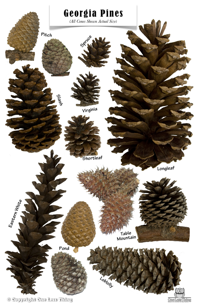 Pine Cones Of Georgia Poster One Less Thing