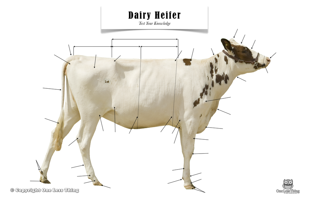 Dairy Heifer Anatomy, Poster - One Less Thing
