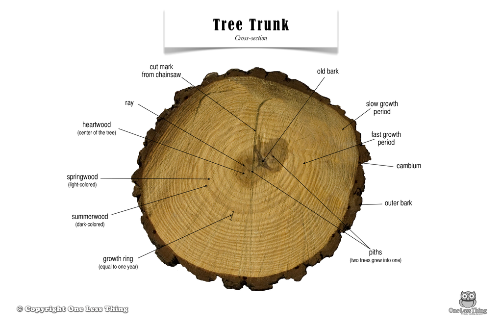 Tree Trunk Anatomy, Poster - One Less Thing