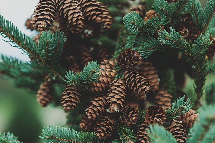 Terpene Profile – Pinene