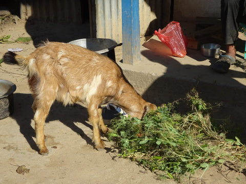 Baby goat eating leaves on the floor in a village in Nepal