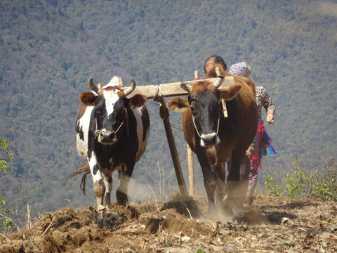 Two cows climbing a mountain with mountain range in the background