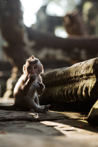 A baby monkey sat down at Angkor Wat in Cambodia
