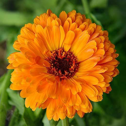 Calendula Marigold Powder 35oz