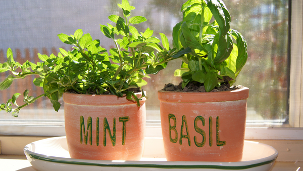 Mint and basil in a pot near a window