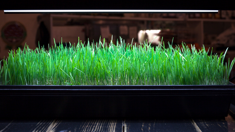 wheatgrass growing in a planter under artificial lights