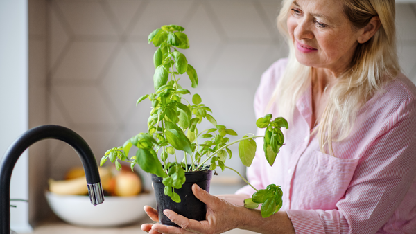 woman watering her basil plant in the kitchen sink