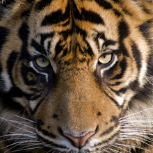 Load image into Gallery viewer, Zen Puzzles - Amur Tiger Teaser