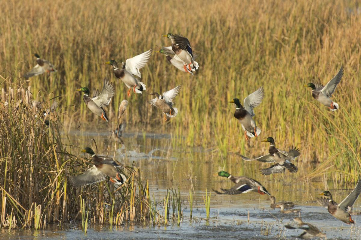 Duck Data: Should It Factor Into Your Hunting Plans?