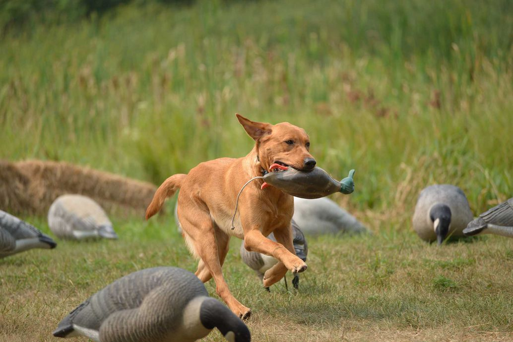 Consider Your Training Capabilities Before Buying a Gun Dog