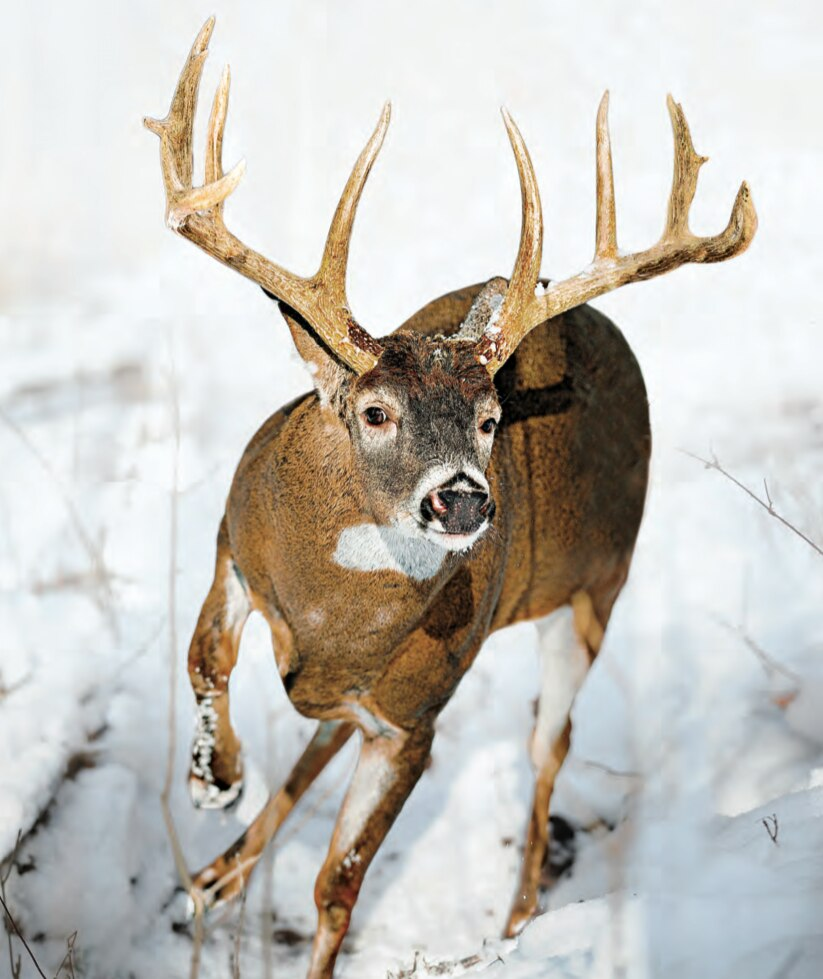 Tips and Tactics: How to Hunt Whitetail Deer