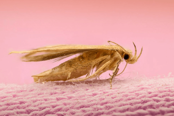 Prevent Moth Damage with the best carpet cleaners in Toronto
