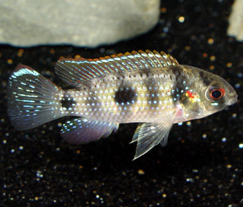 AFRICAN BUTTERFLY CICHLID (A.thomasi)
