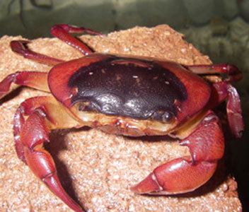 BROWN BACK FRESHWATER CRAB