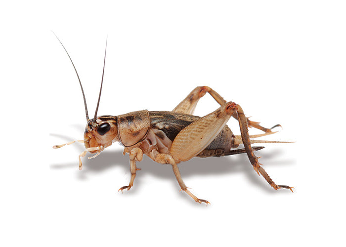 Pisces Crickets