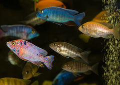 African Cichlids - Assorted