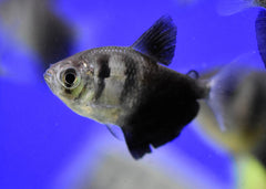 Black Widow Tetra Special (6 for $15)