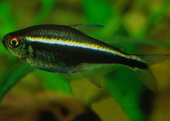 Neon Tetra - Black Special (10 for $15)