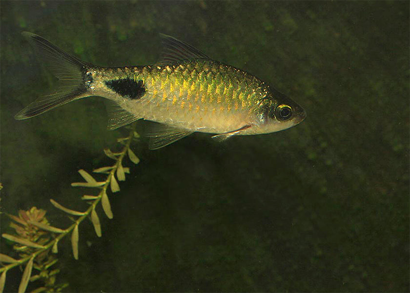 Black Spot Red Fin Barb X 10