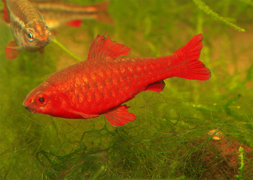 Cherry Barb Super Red