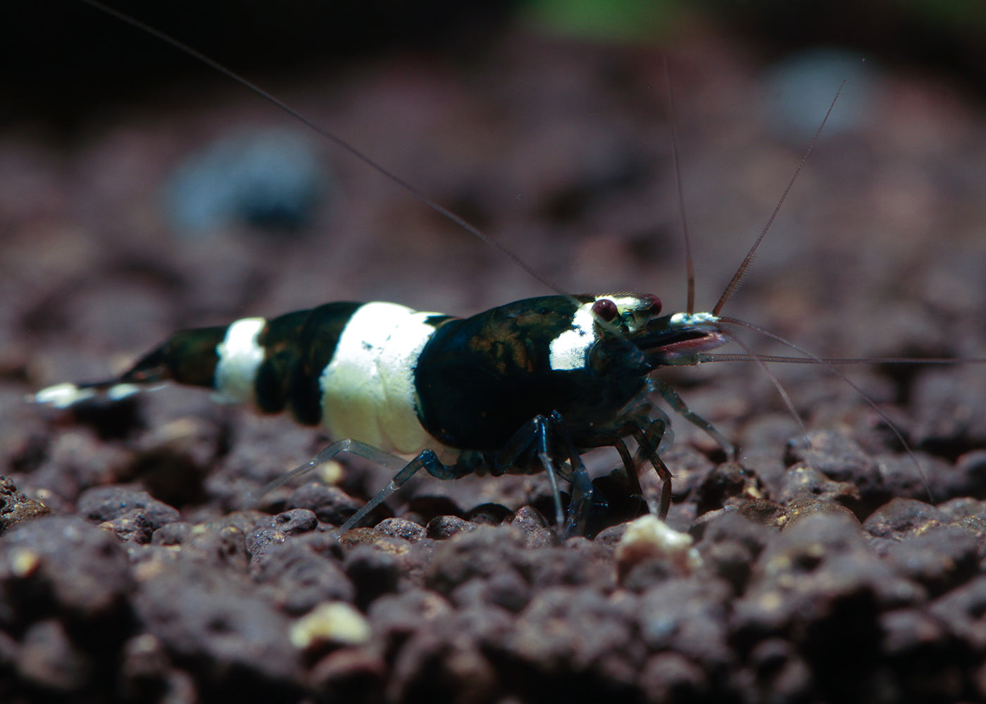 Shrimp Crystal Black