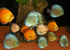 Discus - Assorted