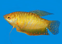 Gourami - Assorted