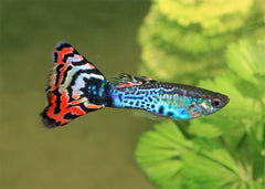 Guppy - Male Assorted Special (5 for $15)