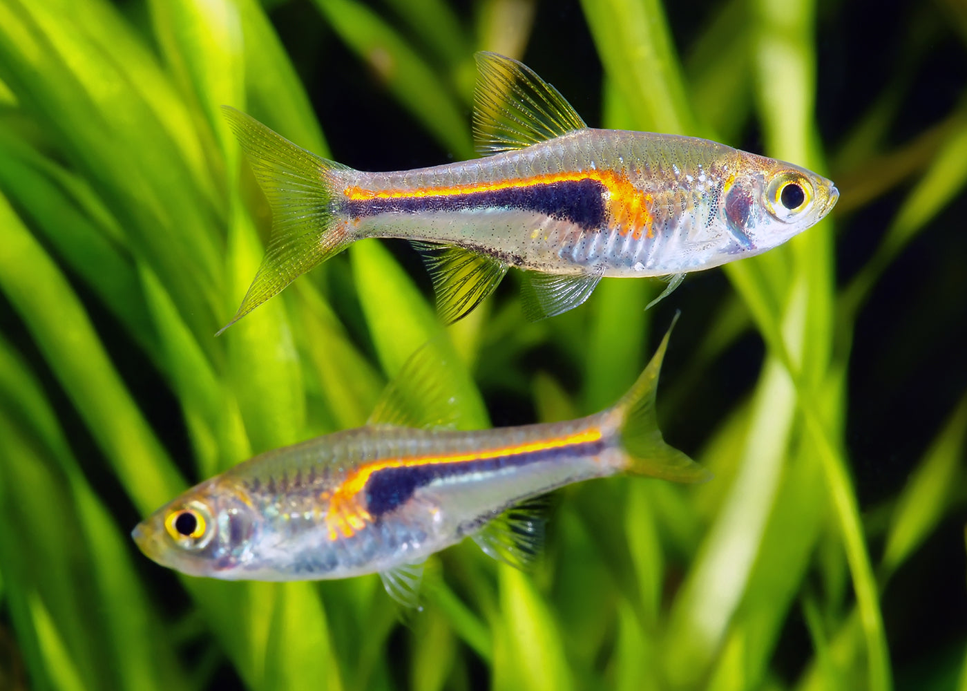 Hengels Rasbora Special (6 for $16)