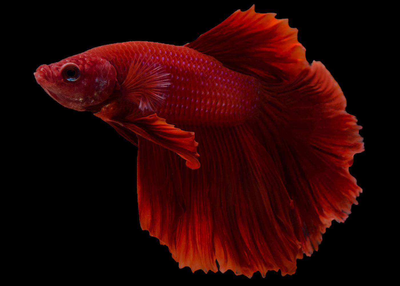 Male Longfin Betta