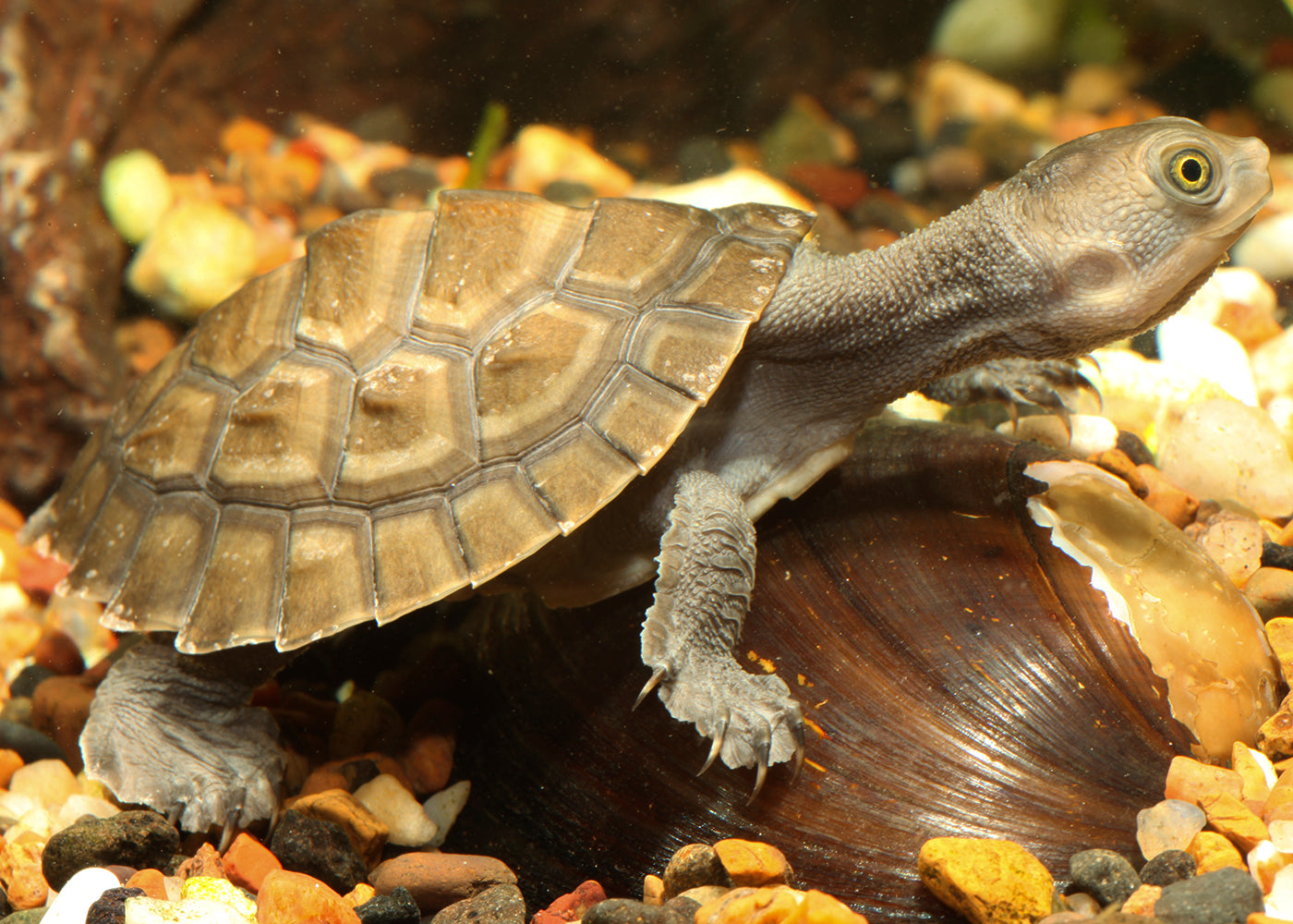 Macleay River Short Neck Turtle (Hatchling)