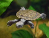 Murray River Short Neck Turtle (Hatchling)