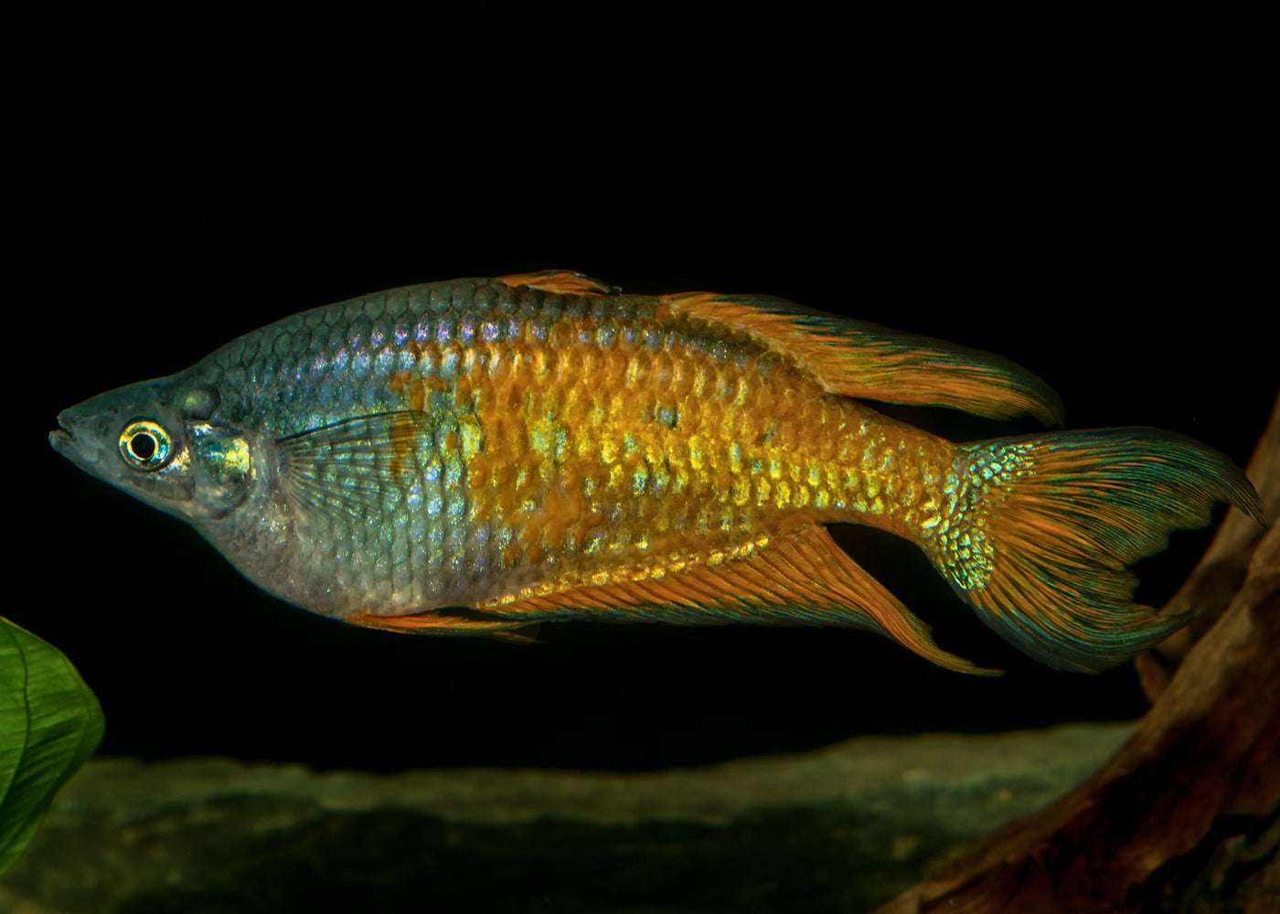 Parkinsons Rainbowfish - Yellow Form