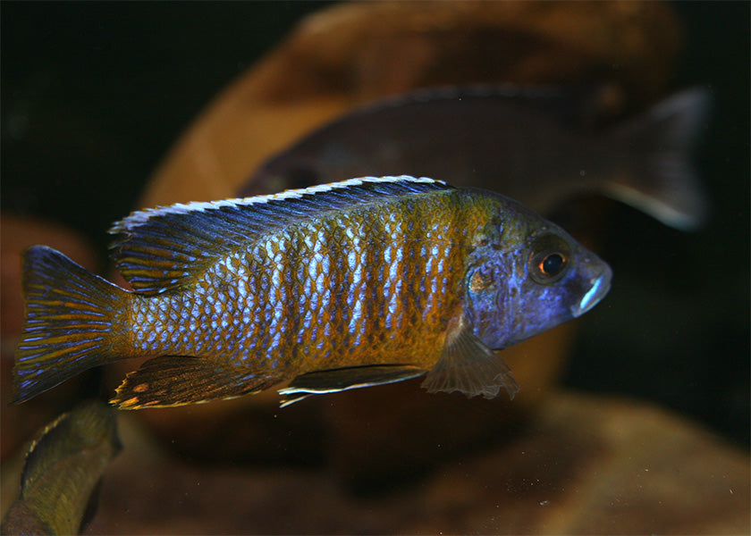 Peacock Cichlid - Assorted