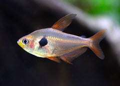 Phantom Tetra - Red Special (6 for $16)