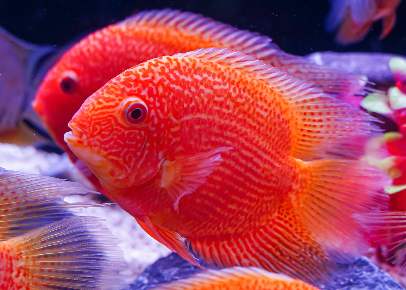 Severum - Red Spot