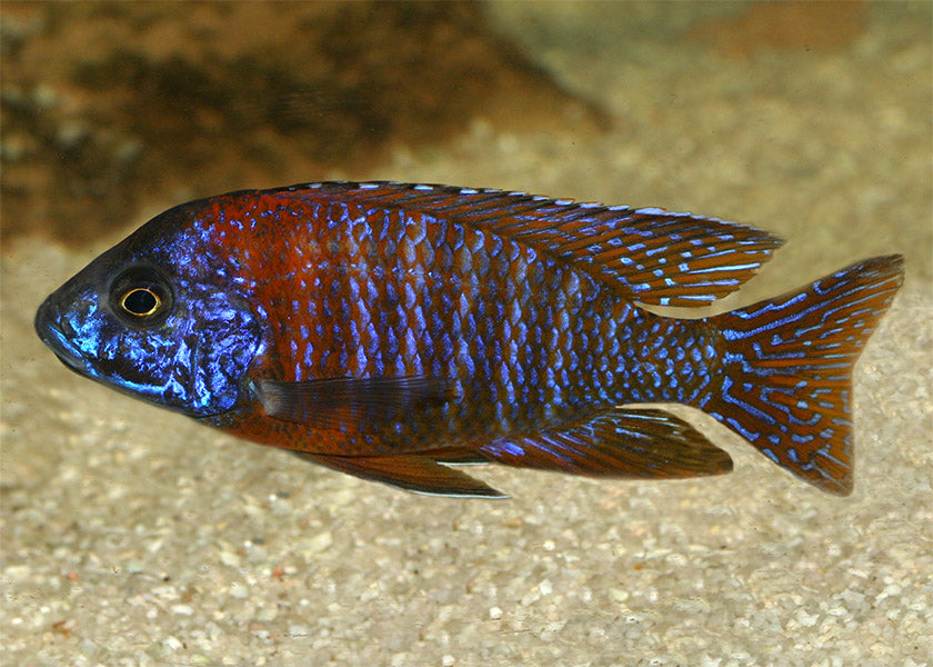 Peacock Cichlid - Red