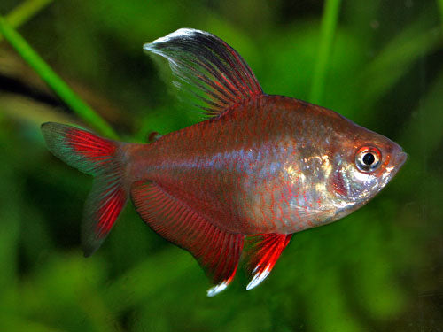 Rosy Tetra Special (6 for $16)