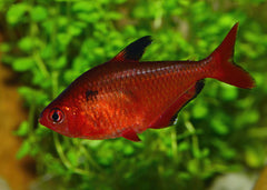 Serpae Tetra Special (6 for $15)