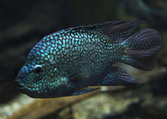 Texas Cichlid Super Green