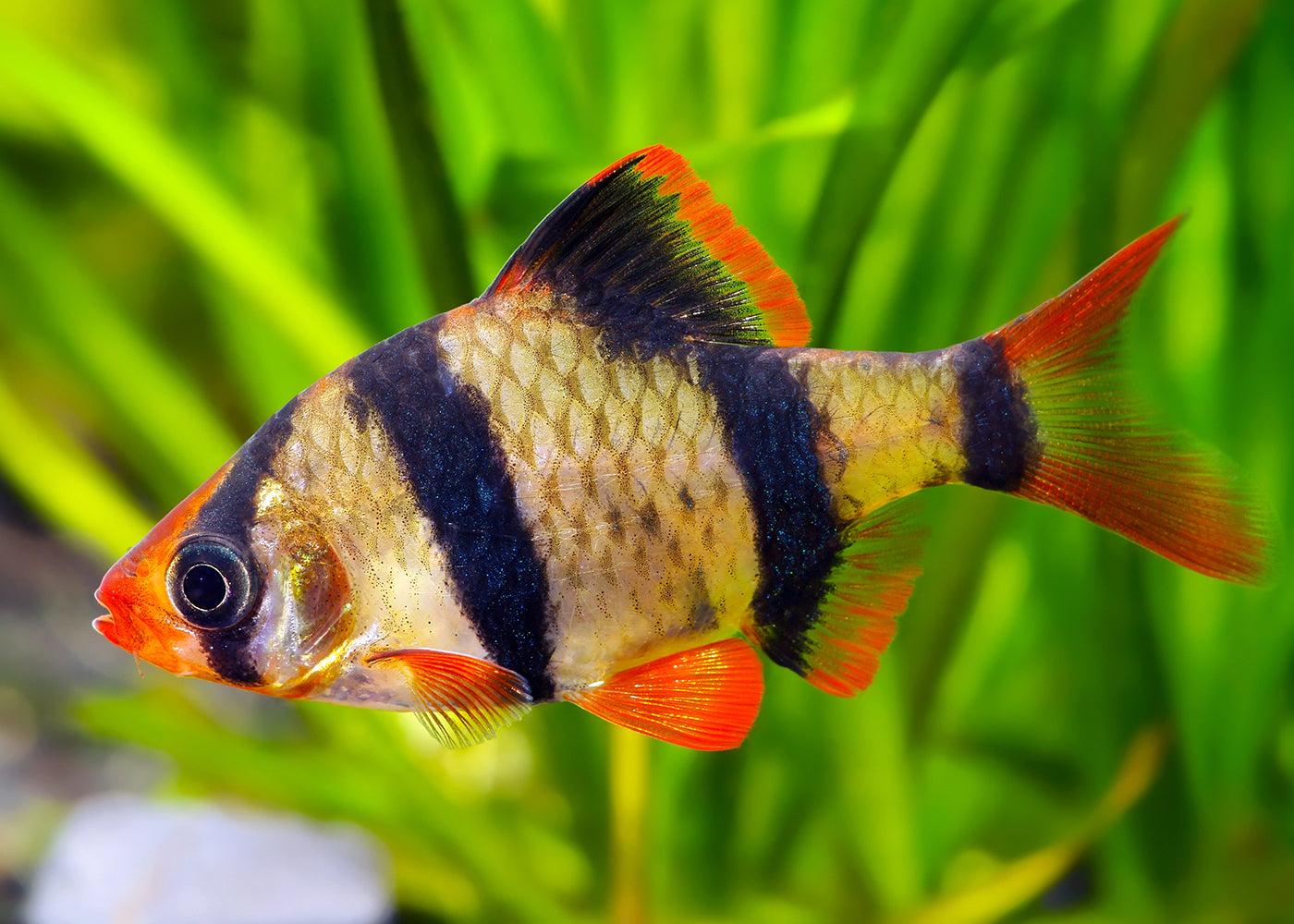 Tiger Barb - Assorted