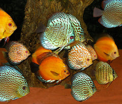 Discus - Assorted Special (3 for $100)