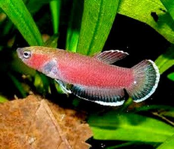 Betta Channoides - Cherry Betta