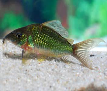 Brochis Splendens Emerald Catfish Fish Live Tropical