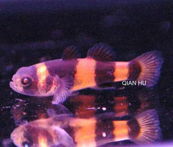 Bumble Bee Goby