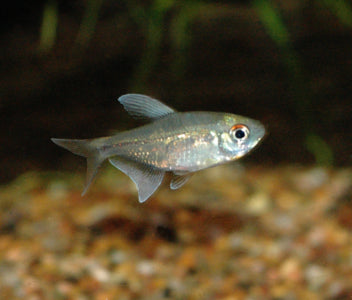 Diamond Tetra Special (6 for $16)