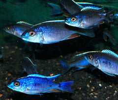 Electric Blue Cichlid