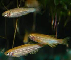 Zebra Danio - Gold Special (6 for $16)